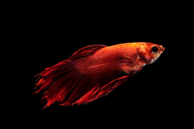 Le moment émouvant du poisson betta siamois dégradé demi-lune rouge