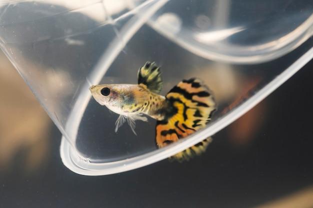 Le moment émouvant du poisson betta siamois demi-lune jaune et d'une tasse en plastique