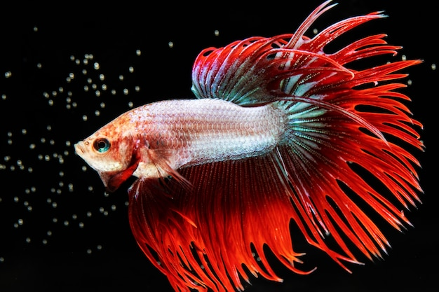 Le moment émouvant du poisson betta siamois demi-lune à queue rouge