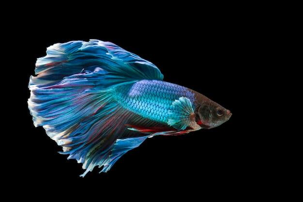 Le moment émouvant magnifique du poisson betta sur fond noir