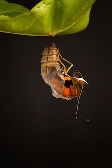 Moment incroyable à propos de changement de papillon forme chrysalide