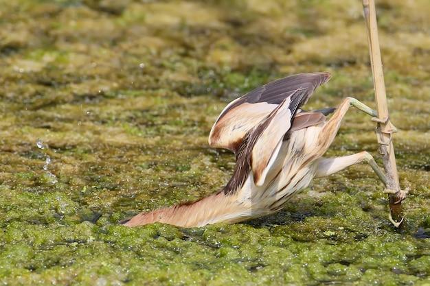 Moments intéressants et insolites de la vie des oiseaux. le petit butor femelle attaque une prière.