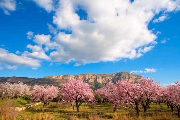 Mongo à denia javea au printemps avec des fleurs d'amandier