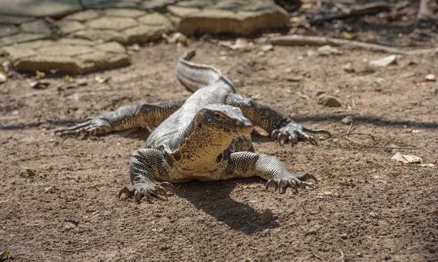 Moniteur d'eau asiatique (lézard géant) au sol