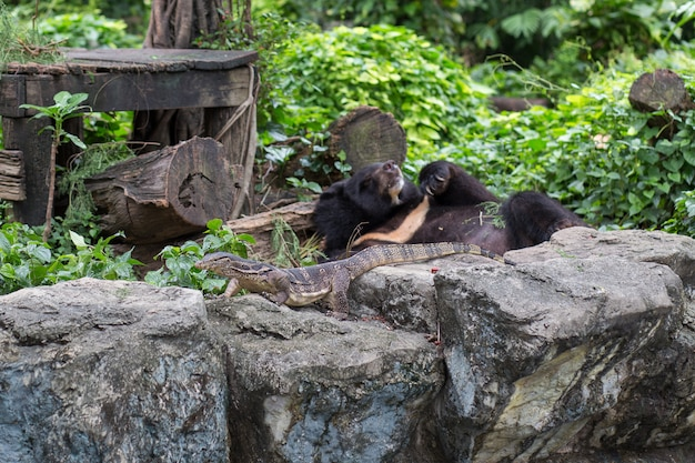 Moniteur d'eau et ours noir dans le zoo au crépuscule, thaïlande.