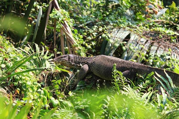 Le moniteur d'eau ou varanus salvator est reptiles et amphibiansin vivent dans la forêt de la thaïlande.