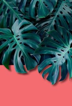 Monstera deliciosa feuilles tropicales