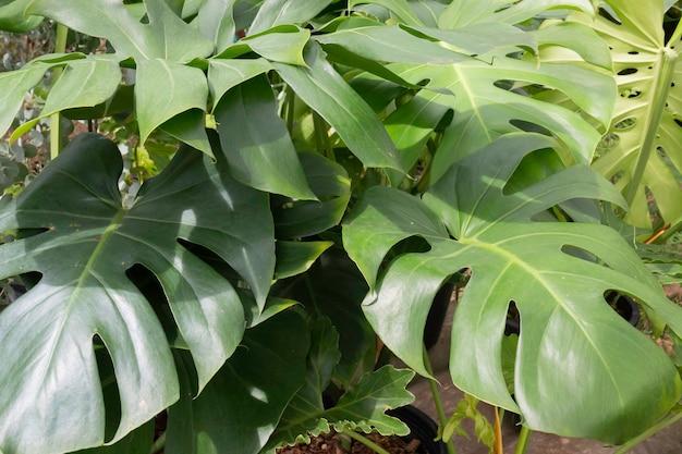 Monstera deliciosa ou philodendron à feuilles fendues dans un pot, photo stock