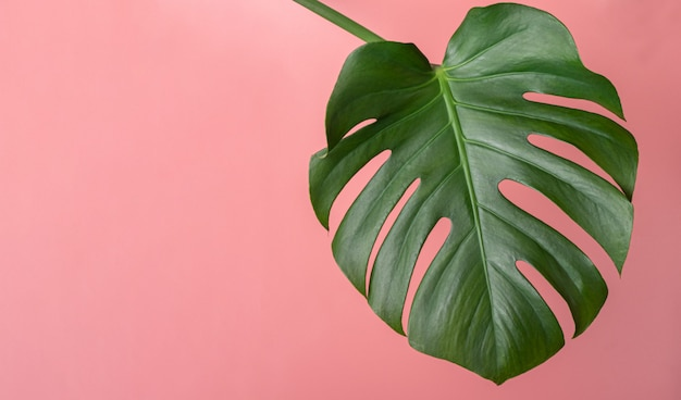 Monstera feuille tropicale sur rose