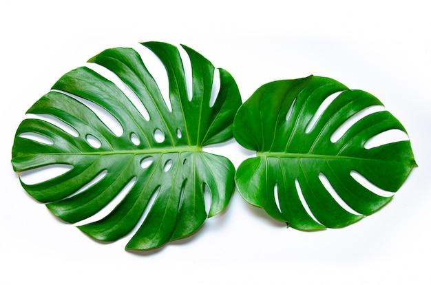 Monstera feuilles feuilles avec isoler sur fond blanc feuilles sur blanc