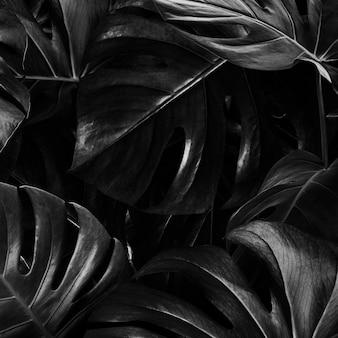 Monstera laisse fond nature jungle