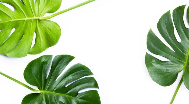 Monstera plante feuilles sur blanc