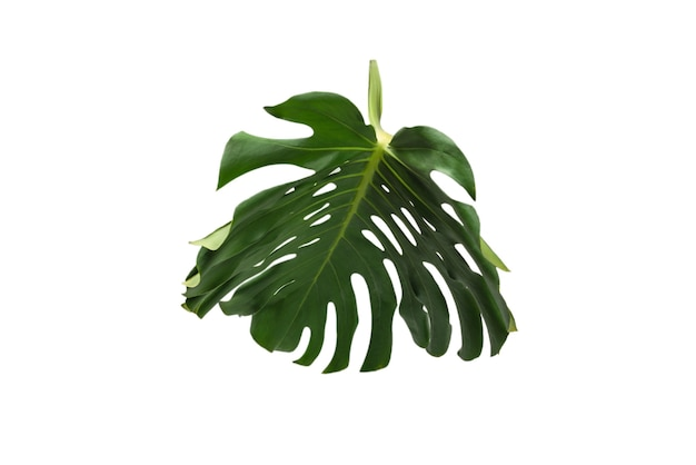 Monstera de plante verte isolé sur fond blanc.