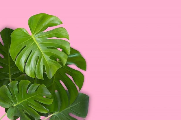 Monstera réel feuilles sur fond blanc. tropical