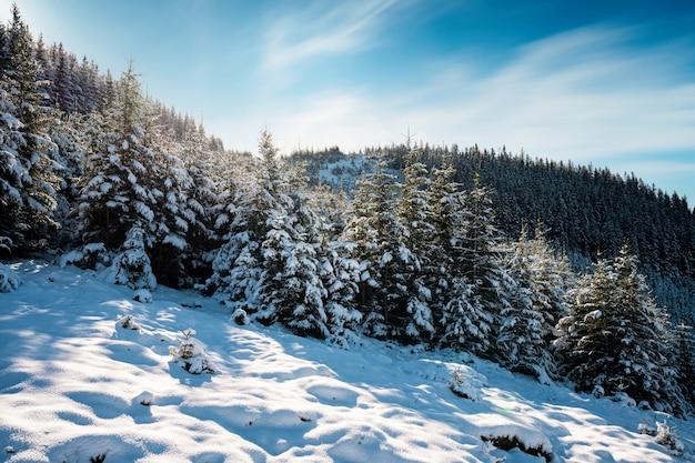 Montagnes et collines des carpates avec des congères de neige blanche et des arbres à feuilles persistantes illuminés par le soleil éclatant