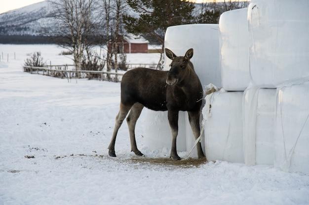 Moose mangeant du foin dans le nord de la suède
