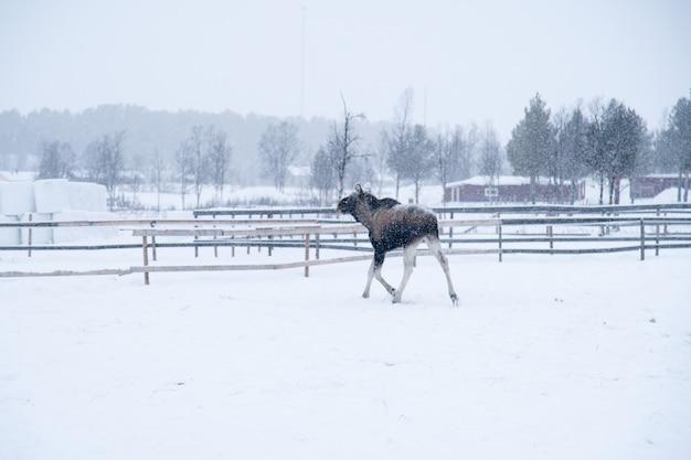 Moose marchant dans un champ enneigé dans le nord de la suède