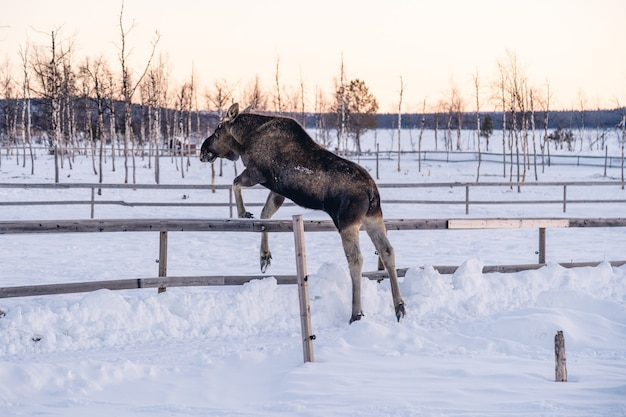 Moose sautant par-dessus la clôture en bois dans le nord de la suède