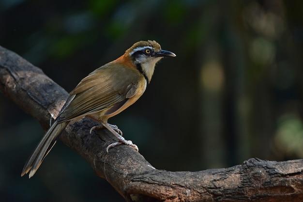 Moqueur à collier se percher sur une branche dans la nature