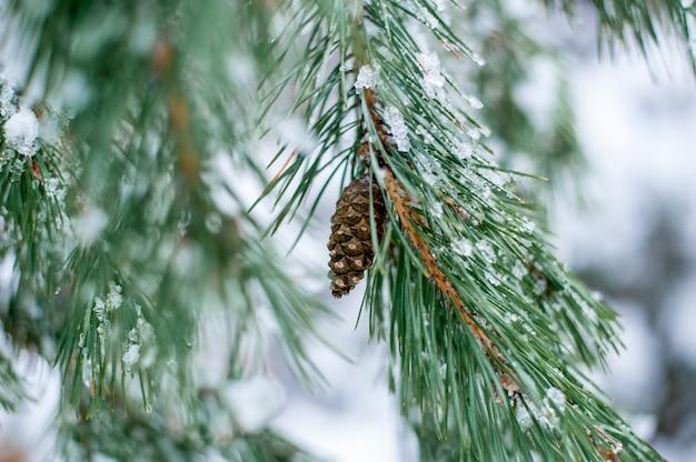 Morceau de résineux sur une branche en hiver