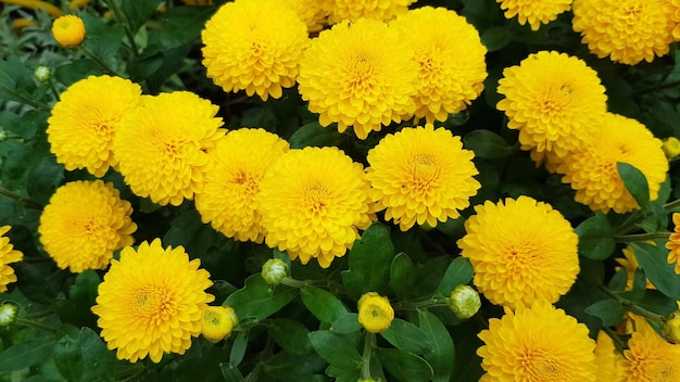 Morceau de tissu organique frais de chrysanthèmes à fleurs jaunes et de bourgeons fleuris de pétales jaune vif. fleurs d'automne