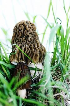 Morilles dans l'herbe