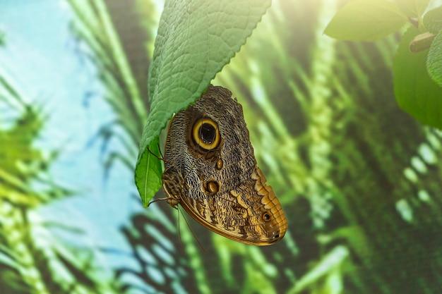 Morpho menelaus est une espèce de papillons assis sur des feuilles de plantes vertes dans le parc.