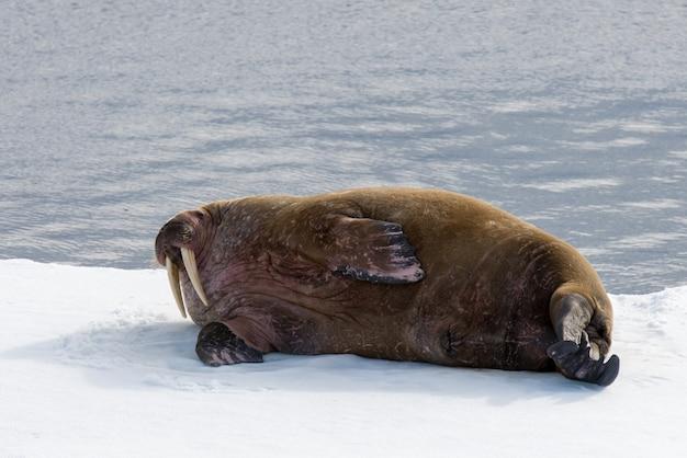 Morse sur glace