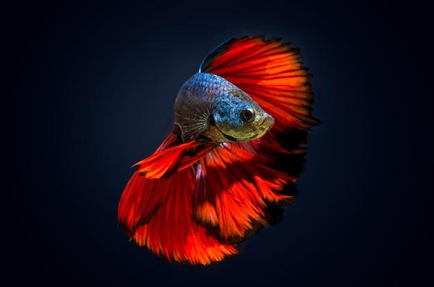 Morsure de poisson poisson de combat rouge fond bleu foncé