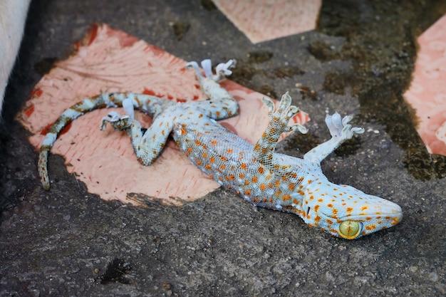 Mort de gecko sur le plancher de ciment
