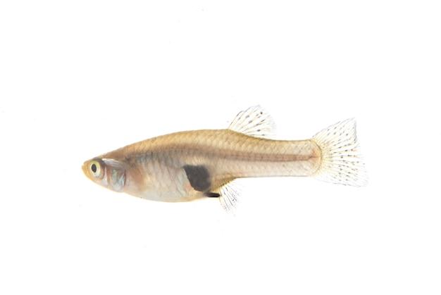 Mosquitofish en blanc isolé