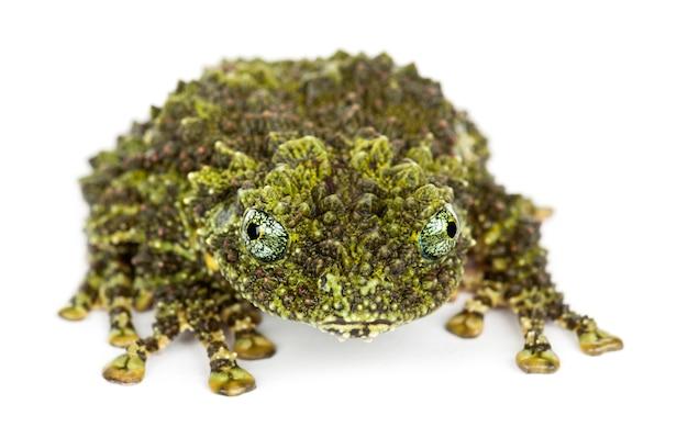 Mossy frog, theloderma corticale, également connu sous le nom de grenouille moussue vietnamienne, ou tonkin bug-eyed frog, portrait contre l'espace blanc
