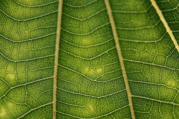 Motif d'art de ligne sur la macrophotographie de texture de feuille blanche naine vert foncé