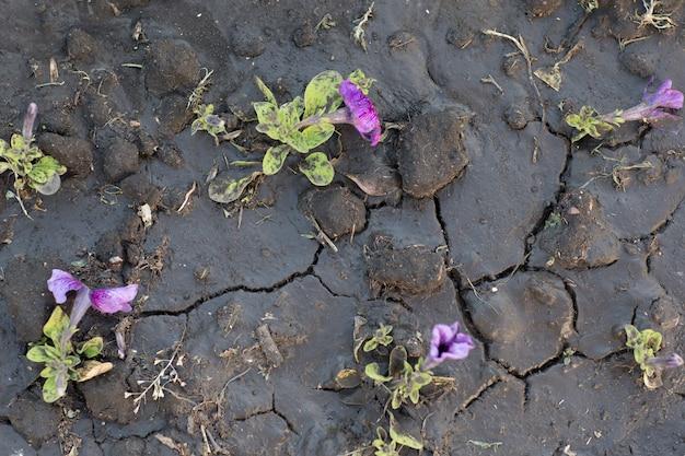 Motif de sol craquelé et séché et de fleurs après arrosage.