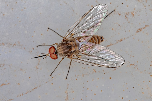 Mouche d'abeille adulte de la famille des bombyliidae