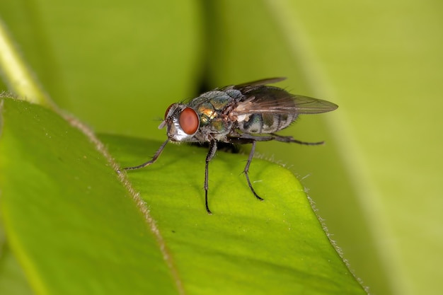 Mouche adulte de la famille des calliphoridae