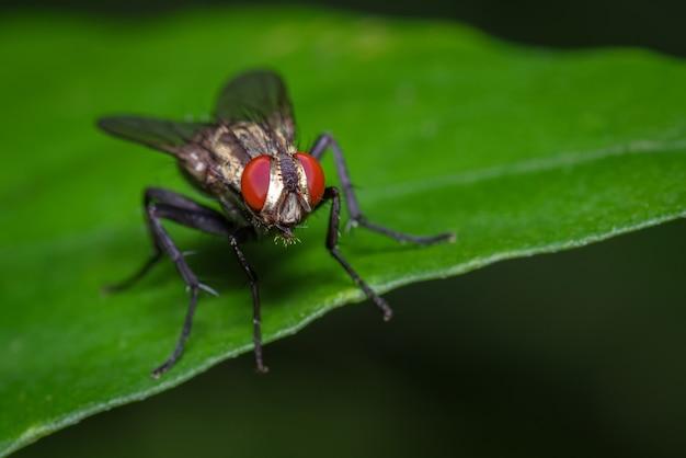 Mouche aux yeux rouges perchée sur la feuille verte d'une plante