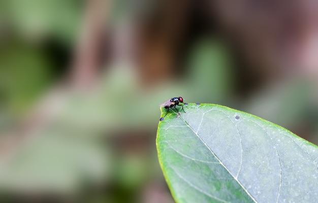 Une mouche de bouteille noire se reposant sur une feuille de jacquier
