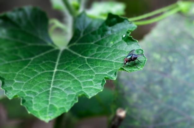 Mouche commune de bouteille se reposant sur une feuille verte