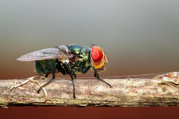 Une mouche (diptera) sur une branche brune.