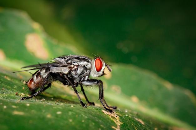 Une mouche (diptera) sur des feuilles vertes