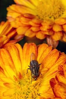La mouche mange le pollen de fleur jaune.