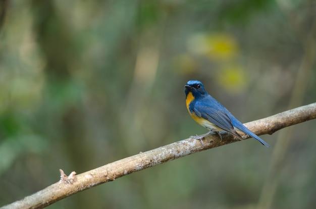Moucherolle bleu sur une branche