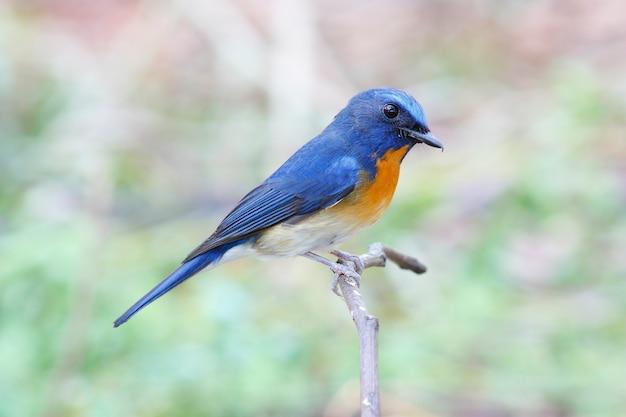 Moucherolle bleu chinois cyornis glaucicomans de beaux oiseaux mâles de la thaïlande