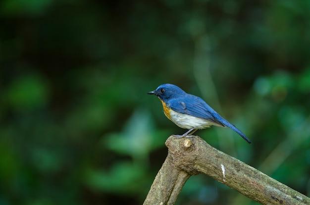 Le moucherolle bleu de tickell perché sur une branche