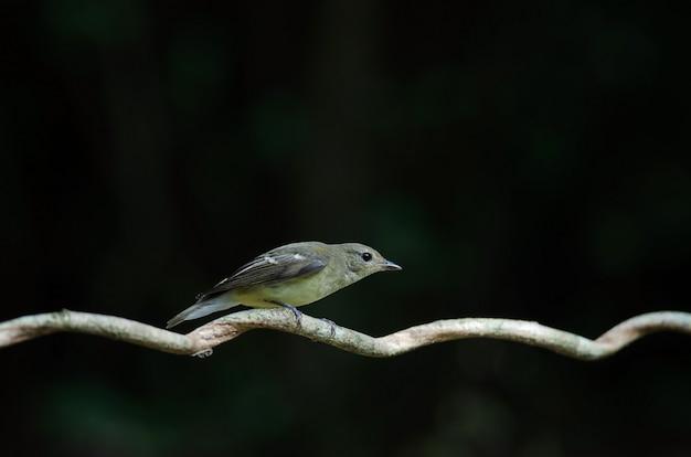Moucherolle à croupion jaune (ficedula zanthopygia) dans la nature