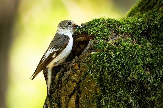 Moucherolle à pieds européens apportant de la nourriture dans le nid dans un vieil arbre couvert de mousse
