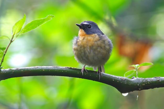 Moucherolle à sourcils gris ficedula hyperythra beaux oiseaux mâles de thaïlande