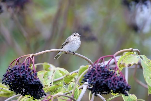 Le moucherolle tacheté (muscicapa striata) en plumage d'hiver a été tourné avec un grand moucherolle sur une branche avec des baies de sureau noir