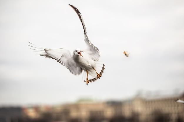 Mouette attrapant un morceau de nourriture jeté par un touriste dans la ville.